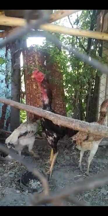 С/х животные в Базар-Коргон: Дакан короз сатылат кореис микс Шамо
