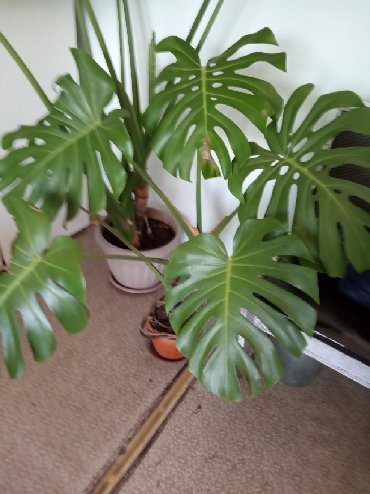 Комнатное растение цена:1000 сом