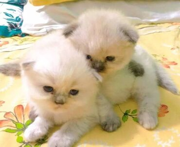 Himalayan kittens Both genders available, vaccinated and wormed, potty