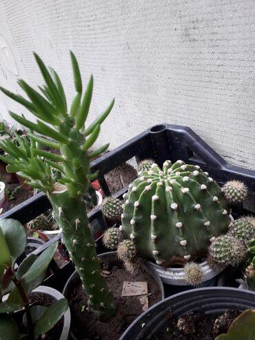 Kaktusi rasprodaja,cene od 50 do 500din,starosti od 6meseci do 5godina