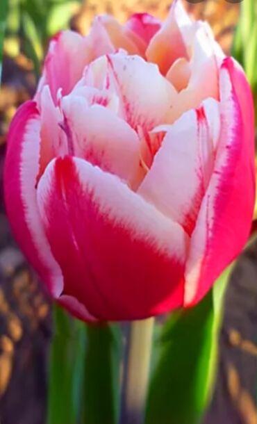 Букеты из пионовидных тюльпанов . 1 шт 120 сом. Тюльпан тюльпаны