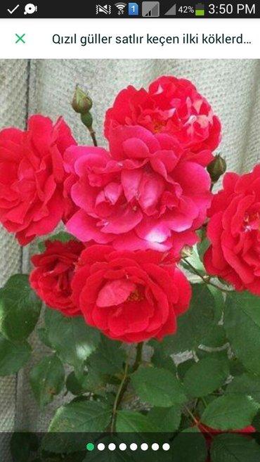 Xırdalan şəhərində Qızıl güller satlır keçen ilki köklerdi kökü 3 azn başliyir