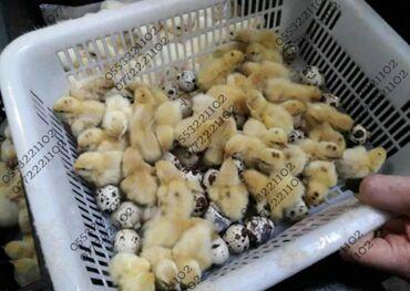 Птицы - Кыргызстан: Бройлерные перепелята. Во взрослом возрасте дают вес 250 - 300 гр