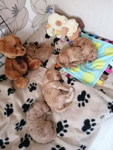 Κουτάβια παιχνιδιών Poodle για υιοθεσία WhatsApp me +33 Κουτάβια