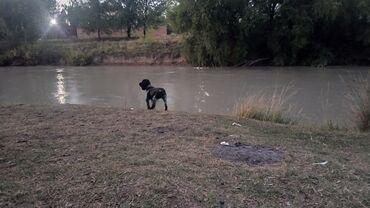 Животные - Дачное (ГЭС-5): Продаю срочно собаку породы спаниель чисто кровную, девочка 1 год