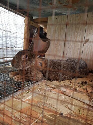 Грызуны - Кыргызстан: Кролики