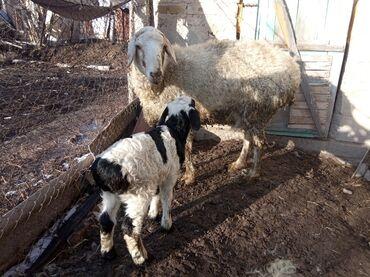 Продаю | Овца (самка), Ягненок, Баран (самец) | Для разведения