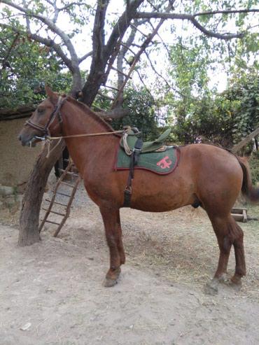 Ат сатам в Базар-Коргон