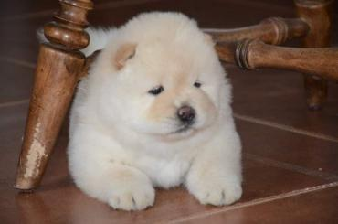 Η Chow chows availabel kc reg σε Athens