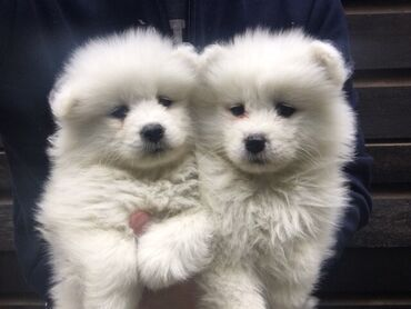 Samoyed Puppies Samoyed Puppies For Sale We have now available beauti