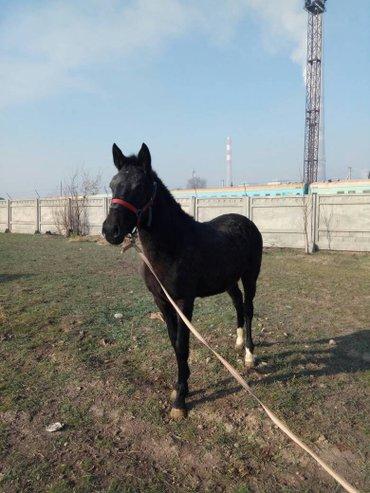 продаю кобылку 1.5 чк в Бишкек