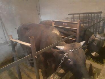 Животные - Заря: Продаю | Бык (самец)