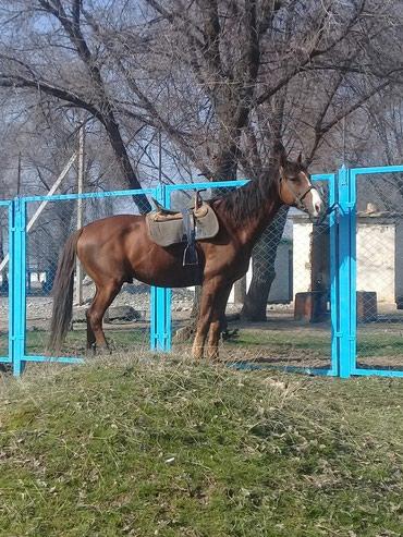Полукровка айгыр 6 жаш уйурго в Бишкек