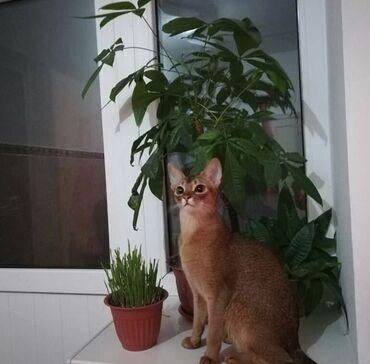Животные - Бишкек: Отдам за символическую плату чистокровную абиссинскую кошку. Кошка