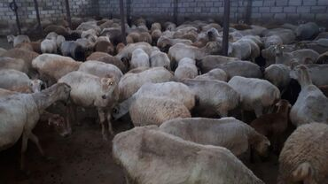 qoyunlar - Azərbaycan: Suru qoyunlar satilir quzularida yaninda quzular 12. kq.dan başliyir