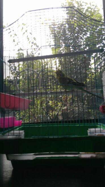 16 объявлений | ЖИВОТНЫЕ: Продается попугай самка 3 месяца с клеткой