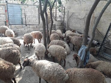 quzular - Azərbaycan: Quzular satılır diri çəki 6 manatdan bordaqda kök quzudu