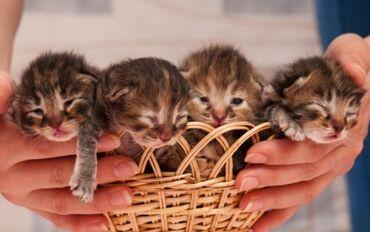 котенок в Кыргызстан: Нужен новорождённый котёнок ! Выходим сами ! Уход гарантирован !