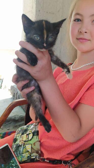 Животные - Арашан: Отдадим потомственных котят крыселовов в хорошие руки