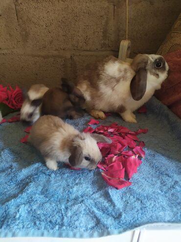 Декоративные кролики - Кыргызстан: Продаю декоративных малышей!! Папамама вислоухие!! Зайки все кушают!