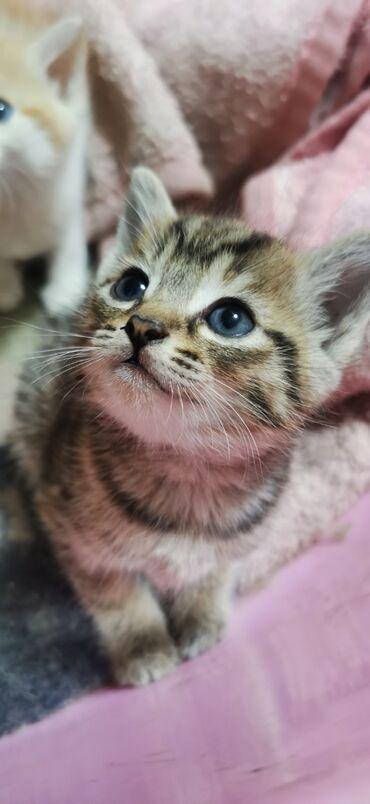 Отдам даром котят, родились 7 июня, кушают и ходят в лоток. 2 девочки