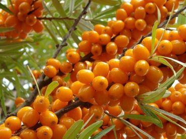 манго фрукт цена бишкек в Кыргызстан: Барбарис, облепиха в любом количестве  С 9:00-21:00 поздно не звонить