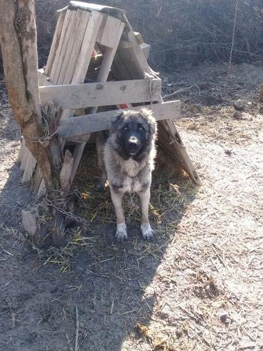İsmayıllı şəhərində Çoban iti.qafqaz çoban iti qarışığı 1 yaş .heyvan qorumağa