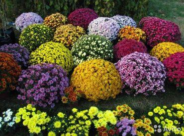 Хризантемы шаровидные мультифлора самыеы ранние цветы по 100сомов200