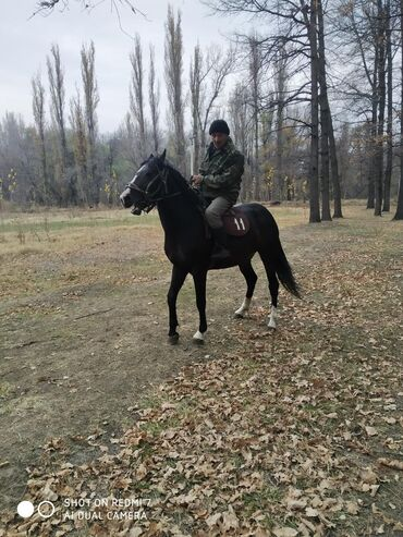 Эненеси рысак,  Атасы данчак.  3 жаш  Бою 160  Баасы 170000 с  Бишкек