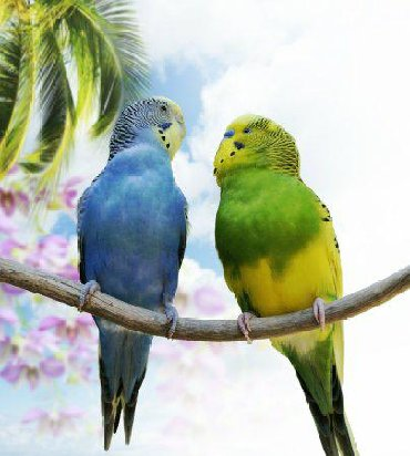 Птицы в Кыргызстан: Попугайчики по низкой цене!Легки в уходе, много забот не надо!1