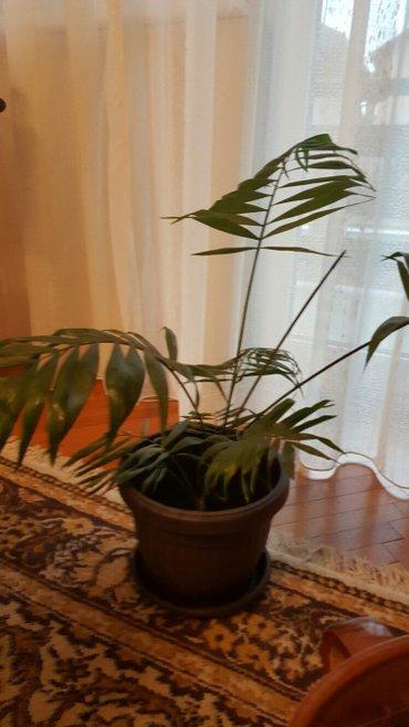 Ostale kućne biljke - Pozarevac
