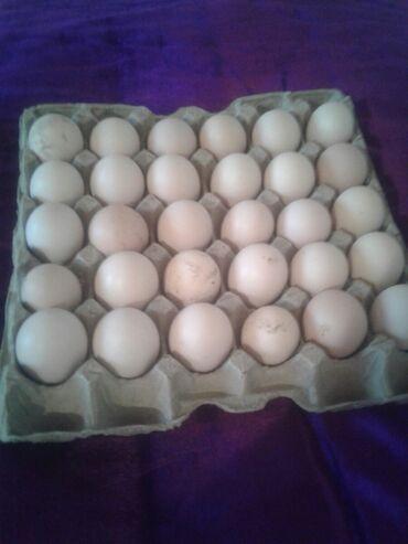 Продаю | Инкубационные яйца | Полубрама