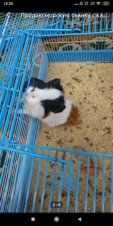 htc 400 в Кыргызстан: Продаю морскую свинку. Зовут Борька ему 7 месяцев, родился 1 мая