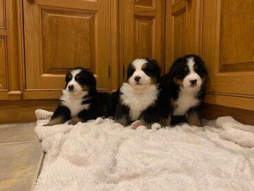 Κουτάβια σκυλιών Bernese Mountain DogΕίμαστε στην ευχάριστη θέση να