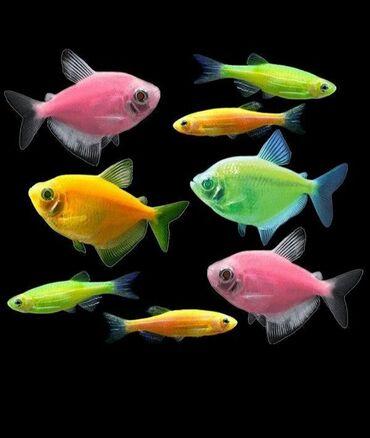 guppi baliqlari - Azərbaycan: Akvarium balıqları