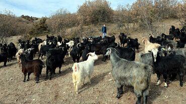 1 elan | HEYVANLAR: Tecılı Keçi satilir Ordubad r .nesirvaz k. yalnız real alıcılar zəng