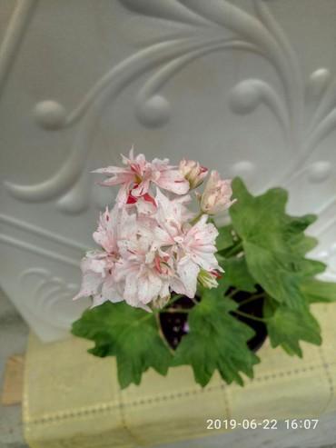 комнатный-цветы в Кыргызстан: Стеллар пеларгония,на данный момент не цветущие черенки 150 сом