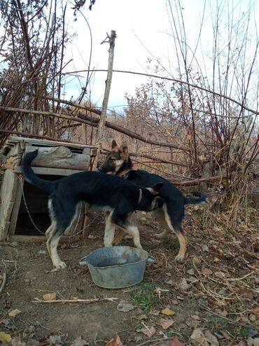 Собаки - Кыргызстан: Кучуктор сатылат 6 айлык