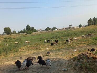 Животные - Шопоков: Продаю   Овца (самка)   Полукровка   Для разведения   Котные, Ярка, Ягнившаяся