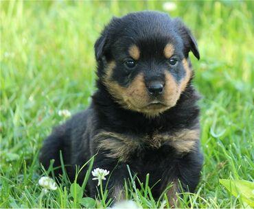 Κουτάβια Rottweiler έτοιμα προς πώληση Τα κουτάβια μεγάλωσαν σε ένα πο