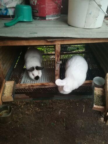 Декоративные кролики - Кыргызстан: Продаю кроликов порода Нзб и калифорнийские 45 дней и самец калиф 6