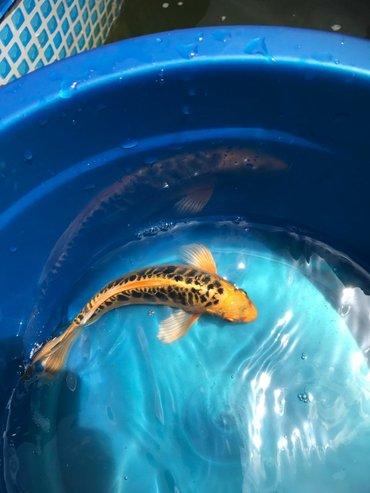 Аквариумы - Лебединовка: Карпы-кои, корма выбор .есть!!для домашних водоёмов и аквариумов!!