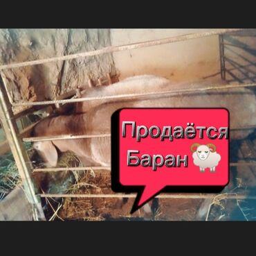 21 объявлений   ЖИВОТНЫЕ: Эта обособленность произошла благодаря полной изоляции этих овец от