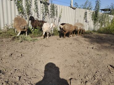 Другие животные - Беловодское: Продаю баран сену.6000!