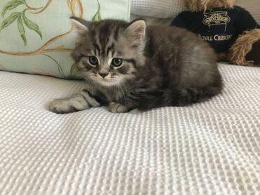 Εκπληκτικό βρετανικό γατάκι με μακριά μαλλιά αγαπούν τις γάτες που