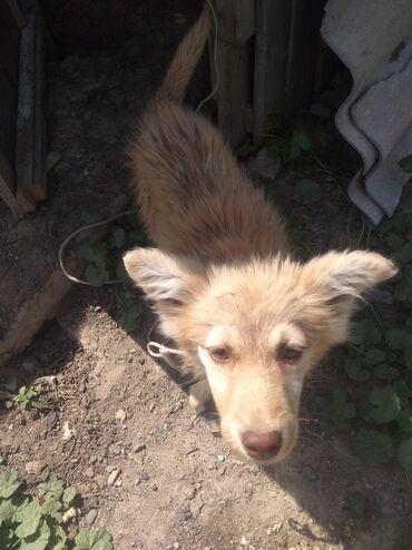 породистые-щенки-даром в Кыргызстан: Отдам даром щенка рыжая девочка