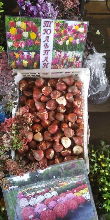 9401 объявлений: Луковицы красных тюльпанов в наличии