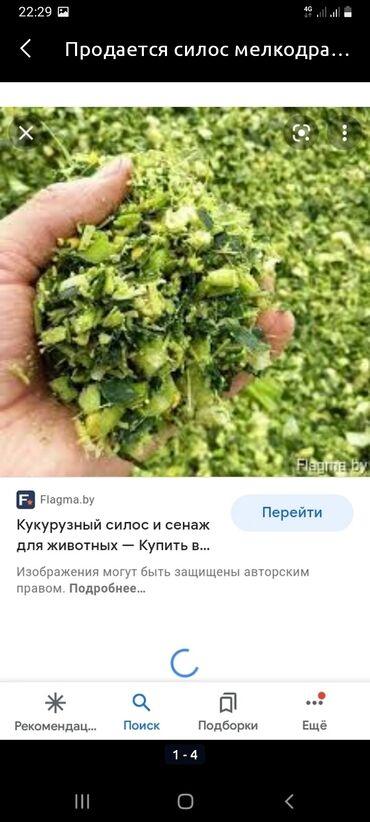 104 объявлений   ЖИВОТНЫЕ: Продаю силос этого года мелкий с кукурузой.цена 6 сом. за кг.погрузка