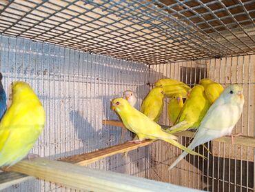 Təmiz sarı və ağ papuqaylar var albenos sarılar və qara gözlü