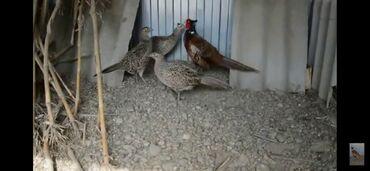 Животные - Кочкор-Ата: Продаю фазанов охотничьих